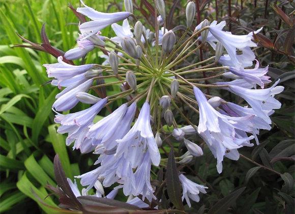 Agapanthus campanulatus 'Wedgwood Blue'