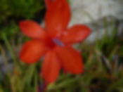 Watsonia pillansii lg.jpg