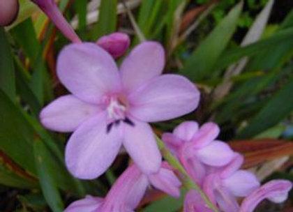 Watsonia Dwarf Pink
