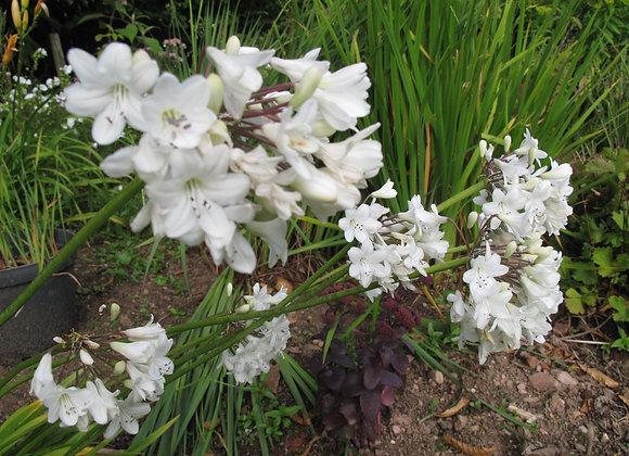 Agapanthus 'Petite White'