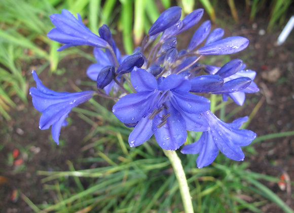 Agapanthus 'Sally Anne'