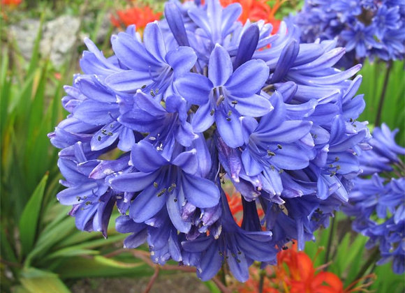 Agapanthus 'Bray Valley'