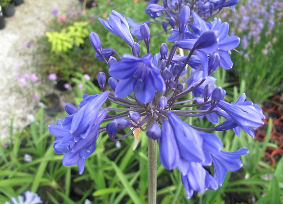 Agapanthus 'Clarence House'
