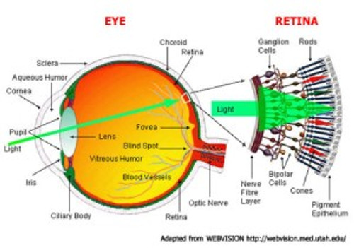 Cones and Rods in the eye | AstroSurf