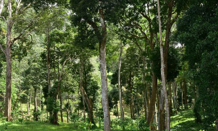 Massive evergreen trees around the resor