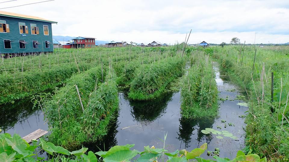 Thửa ruộng cà chua nổi trên mặt nước hồ Inle