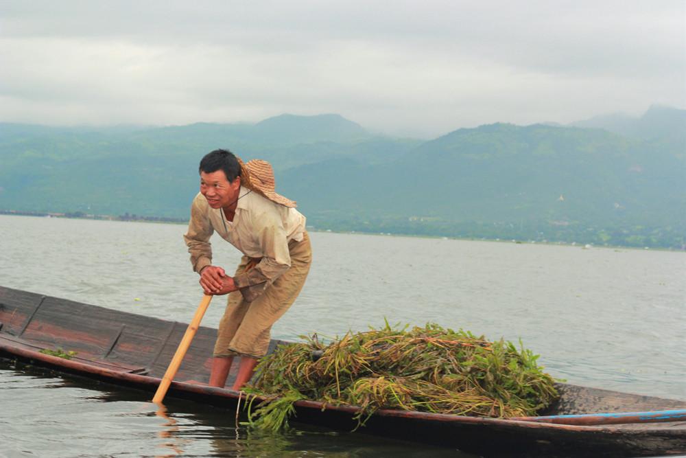 Người nông dân vớt rêu, tảo, thực vật từ dưới đáy hồ Inle Myanmar