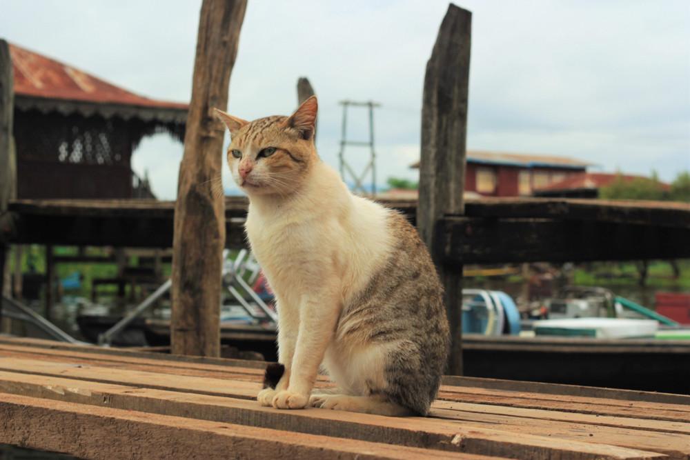 Chùa mèo Nga Phe Kyaung trên hồ Inle Myanmar