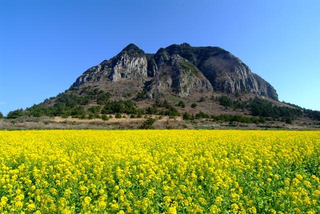 Cánh đồng hoa cải dưới chân núi Sanbangsan - Jeju Hàn Quốc