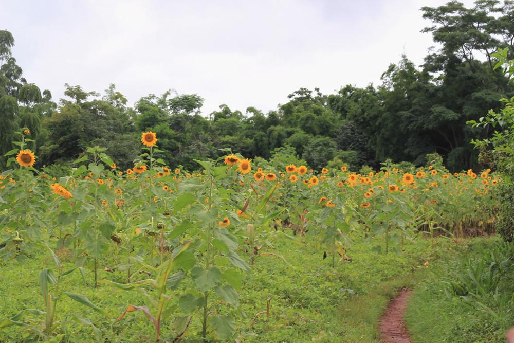 Ruộng hoa hướng dương hai bên đườngtrekking từ Inle - Kalaw