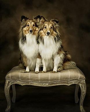 Shetland Sheepdogs.jpg