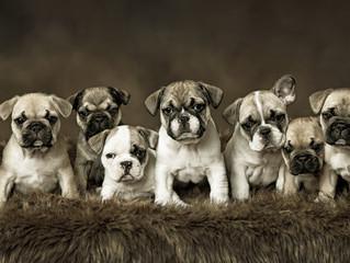 French Bulldog Puppy Fun