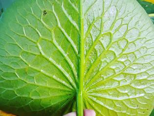 Fractals on a Lily Leaf