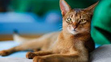 Abyssinian 'The Aby'