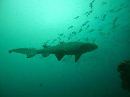 Spotted Raggies aka Sand Tiger Sharks