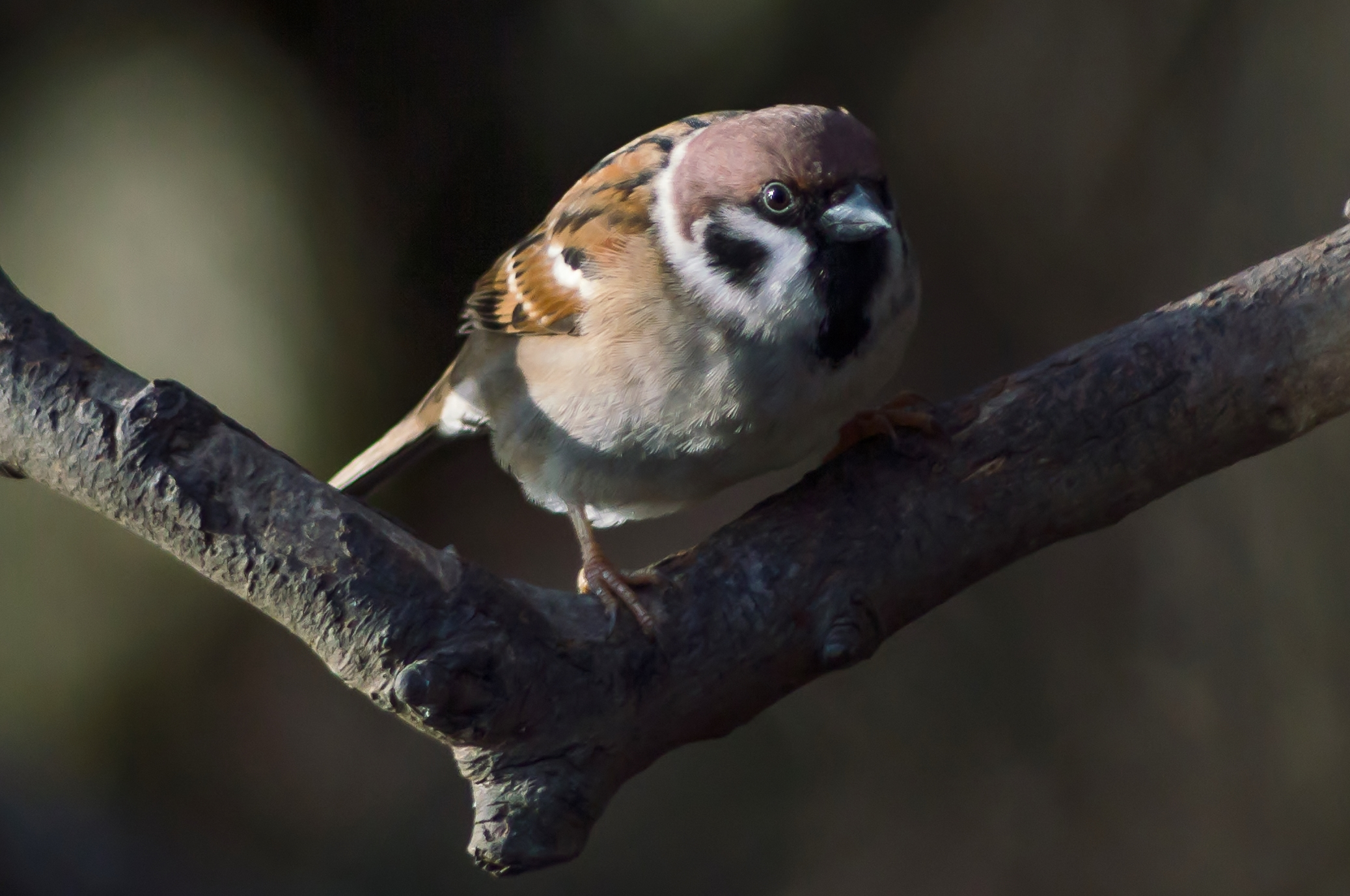 Tree Sparrow on a Branch