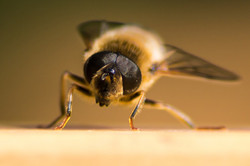 Curtsying Hover Fly