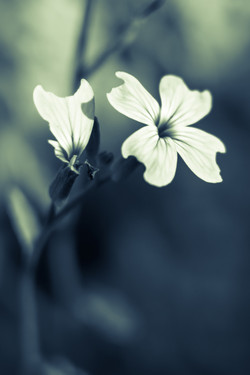 White Wildflower.jpg
