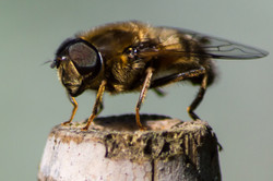Hover Fly on Cane
