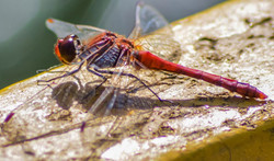 Red Darter Dragonfly
