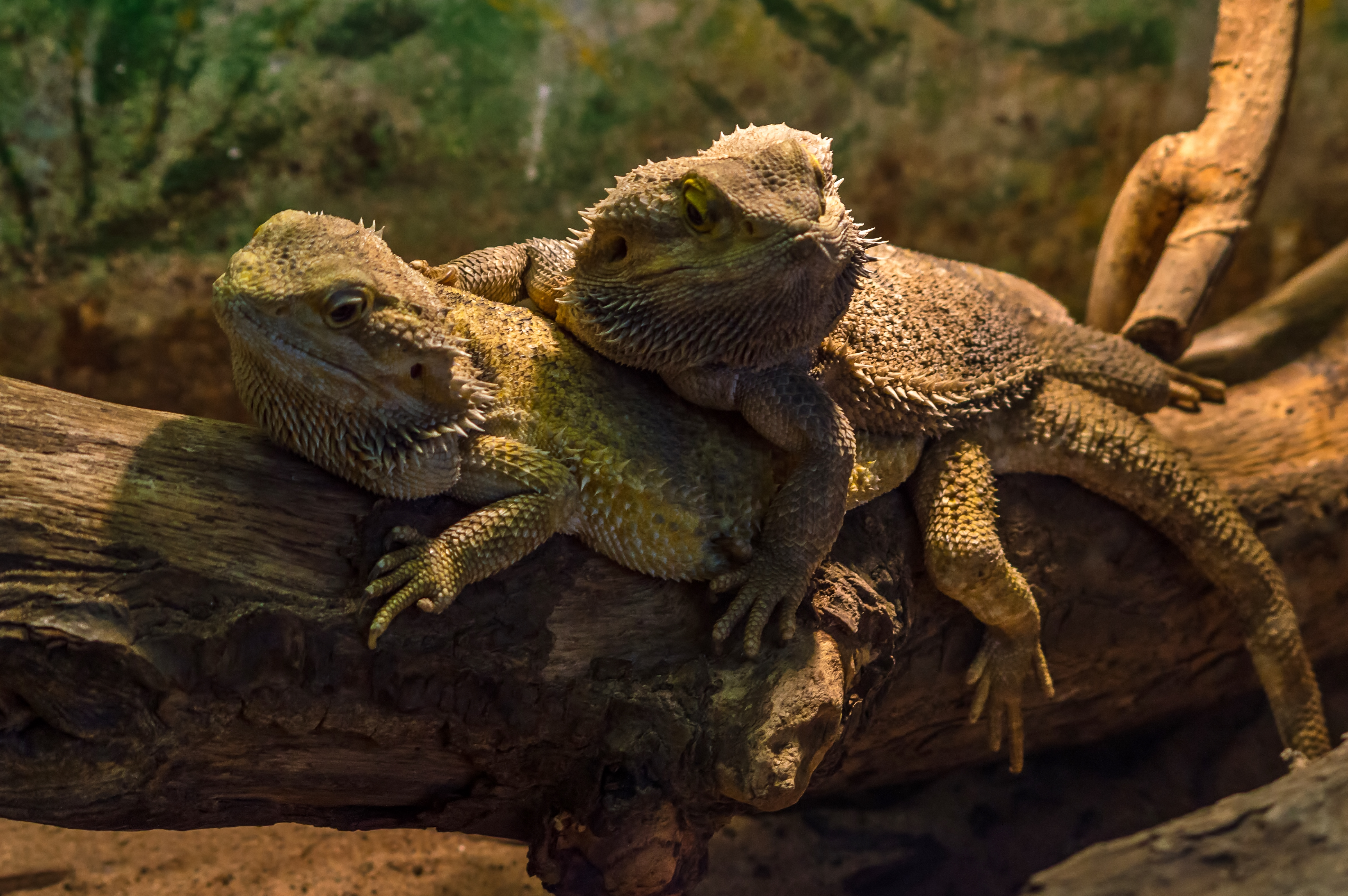 Two friendly Bearded Dragons