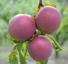 Omega plums 250221.JPG