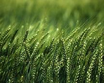 Fertilizantes foliculares - Trigo