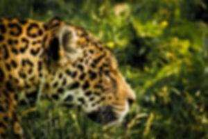 animal-big-big-cat-blur-235674.jpg