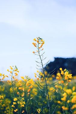 Mustard Flowers_edited.jpg