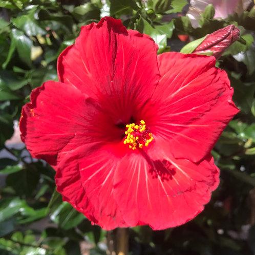 Hibiscus Stamm Rot Topf 17