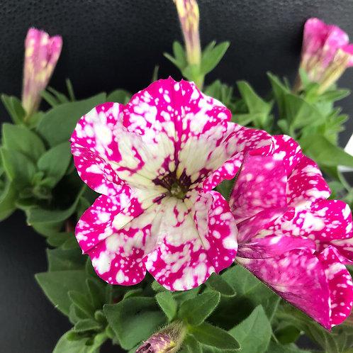 Petunie pink-weiss gepunktet,  hängend