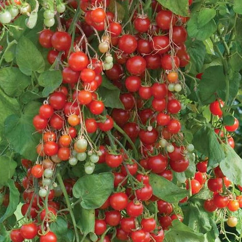 Tomatensetzling Cherry-Tomate Sweet Million