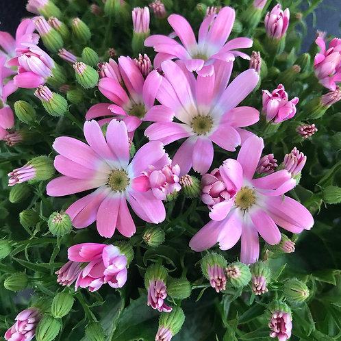 Aschenblume in verschiedenen Farben
