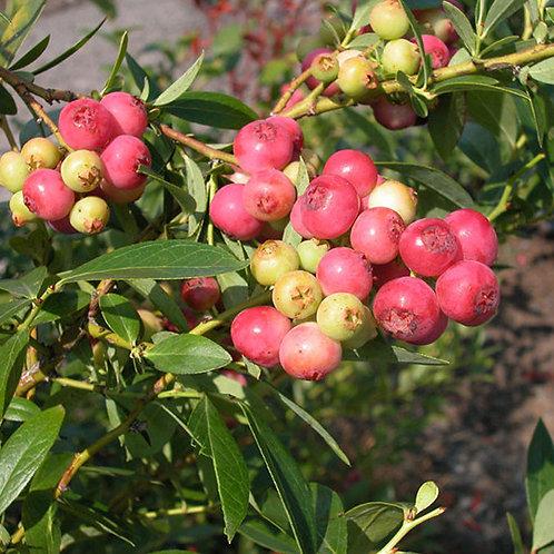 Heidelbeere Pinkberry Pia (Häberli)
