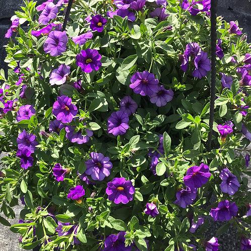 Zauberglöckchen-Ampel violett