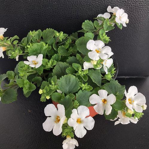 Schneeflockenblume in verschiedenen Farben