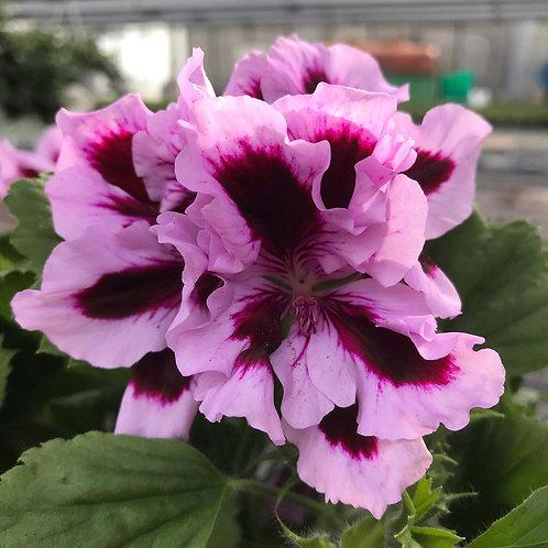 Englische Geranie Stamm  lila T24