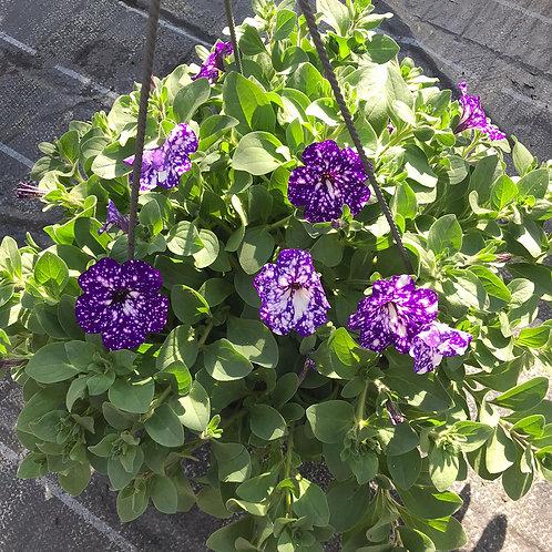 Petunien-Ampel violett-weiss gepunktet