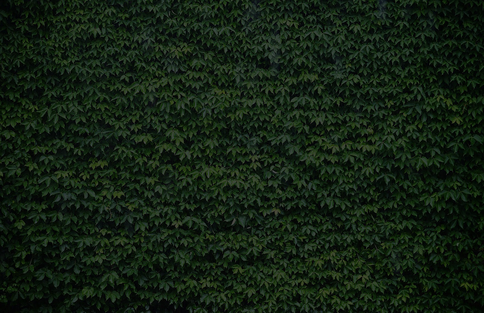 wall-of-green-ivy-texture-plain_edited.j