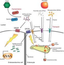Gut lipid processing