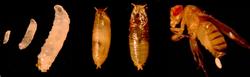 Drosophila%20life%20cycle