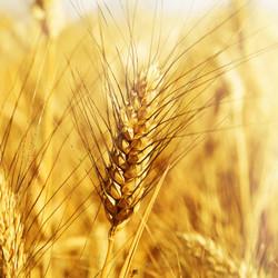 Пшеница озимая твердая 1.jpg