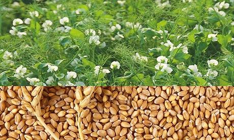 Яровая пшеница 2.jpg