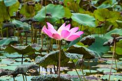 Lotus in Ubud