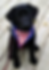 Leader Dog Puppy