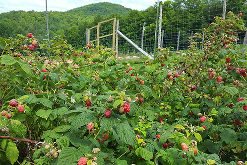 Fresh Organic (cng) Raspberries (U-Pick Only)