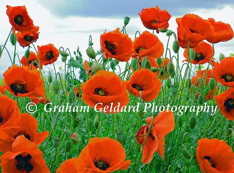 Poppy, Poppies, Red, Green, Poppy Art, Buy Poppy Art, Nature Photography, Buy Nature Photography, Nature Photography For Sale