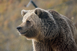 A large, furry brown bear in a wildlife