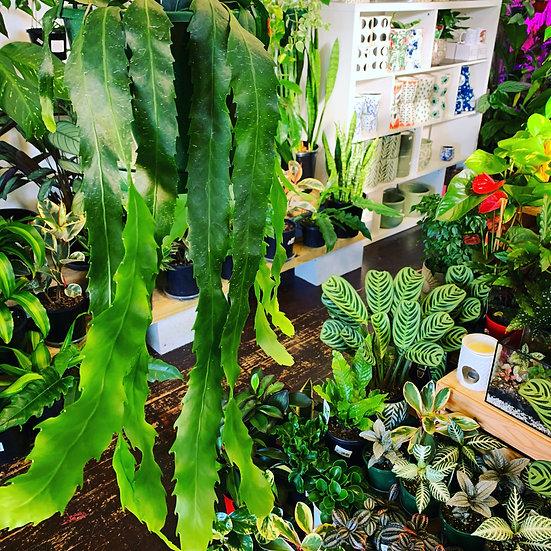 Rhipsalis Strap-leaf
