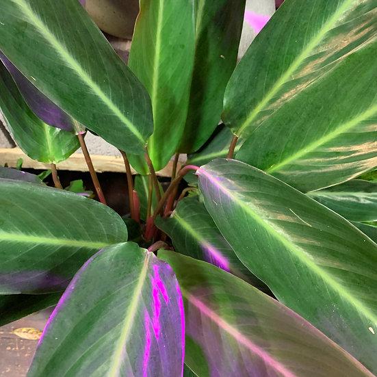 Stromanthe Sanguine